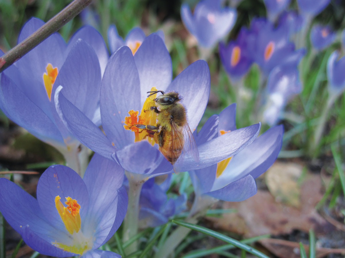 Crocuses are early pollen sources for bees in spring. Photographer: Rebecca Bullene