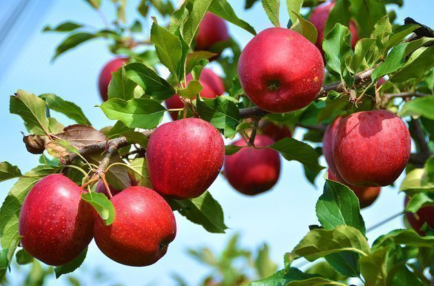 apple picking for families