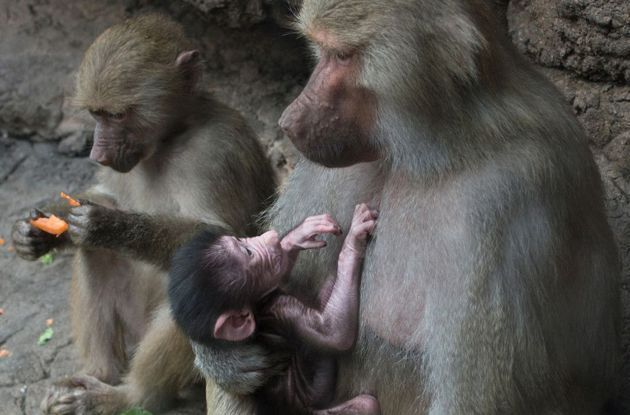 Prospect Park Zoo Welcomes New Hamadryas Baboon Baby