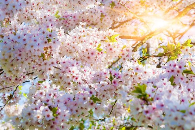 It's Cherry Blossom Season in NYC – 5 Great Spots to Check Them Out