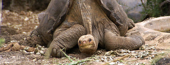 Iconic Galapagos Tortoise Lonesome George Comes to NYC's Museum of Natural History