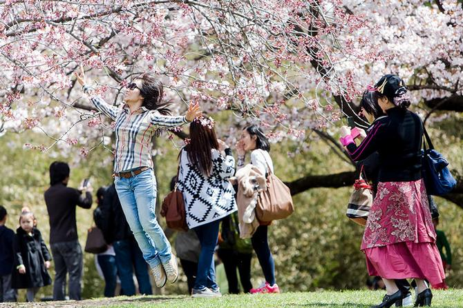 The Cherry Blossoms Are Coming to Brooklyn