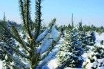 Where to Cut Your Own Christmas Tree in the NYC Area