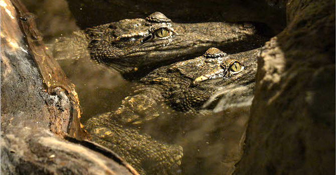 Crocs: Ancient Predators in a Modern World Opens at AMNH