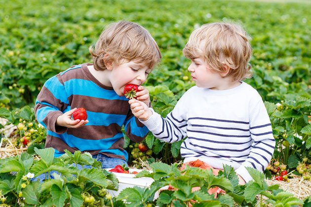 Strawberry Festivals and Pick-Your-Own Strawberries in the NYC Area