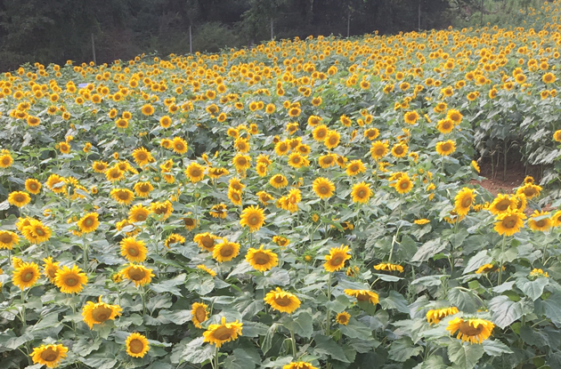 The Sunflower Maze That Took My Breath Away