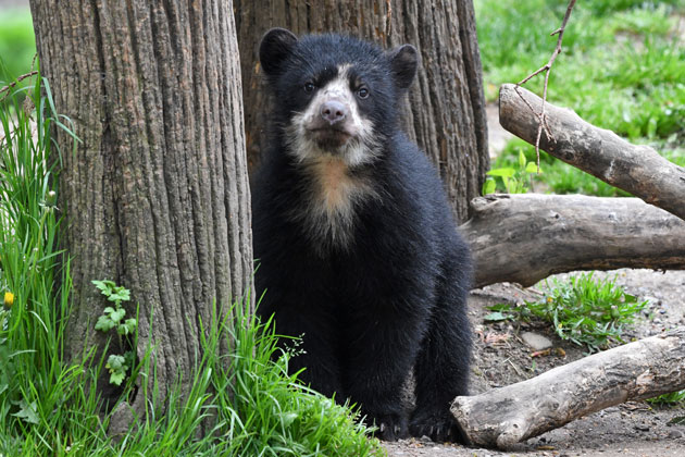 Andean Bear Cub Introduced at Queens Zoo