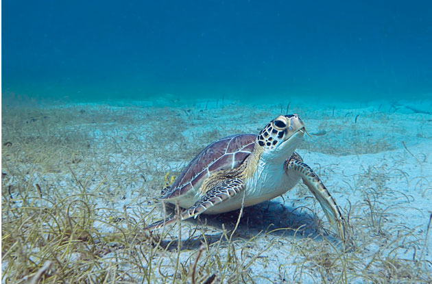 The Island of Nevis: A Sea Turtle Adventure Awaits