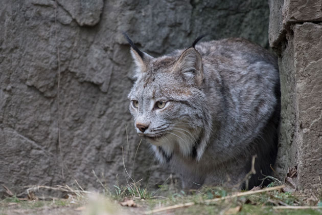 The Queens Zoo Welcomes New Canada Lynx