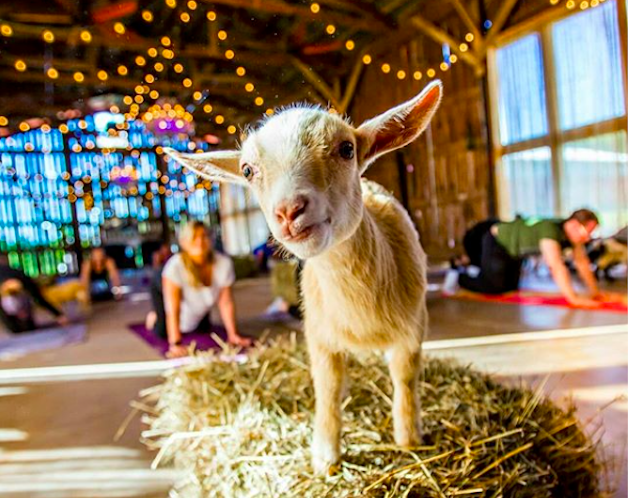 Goat Yoga is Coming to Brooklyn!