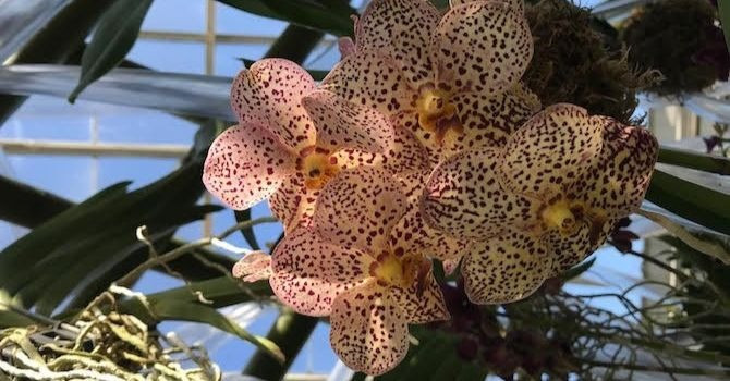 In Vivid Bloom—New York Botanical Garden's Orchid Show Returns