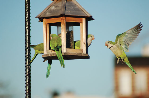 wild monk parakeets brooklyn