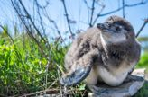 4 More African Black-Footed Penguins Have Arrived at New York Aquarium