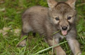 Family Outing: Wolf Conservation Center in South Salem