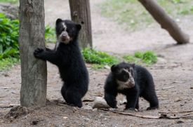 2 Andean Bear Cubs Are Ready to Make Their Debut at Queens Zoo