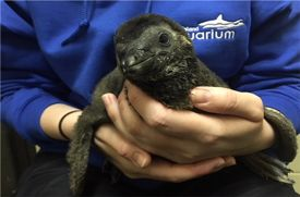 The Long Island Aquarium Welcomes Baby African Black-Footed Penguin