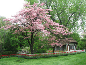 Old Westbury Gardens; Long Island, NY; thatched cottage; blossoming tree