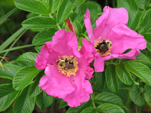 salt spray roses; bumblebees on flowers; Jamaica Bay Wildlife Refuge