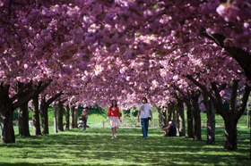 Brooklyn Botanic Garden, Cherry Blosson Festival