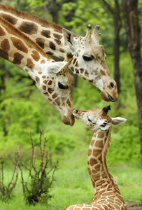 giraffes; parents and baby giraffe; Bronx Zoo; Animal Tales Extravaganza