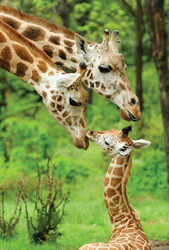 Animal Tales Extravaganza, Bronx Zoo; giraffes at the Bronx Zoo; mom and baby giraffe