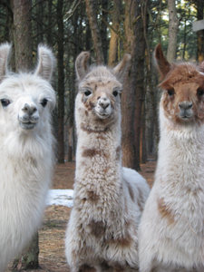 llamas; Long Island Fleece and Fiber Fair