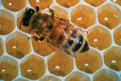 honey bee; in hive; honeycomb
