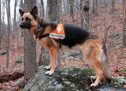 Canine Search and Rescue dog