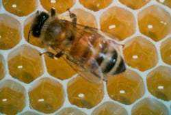 honey bee, in hive; honeycomb