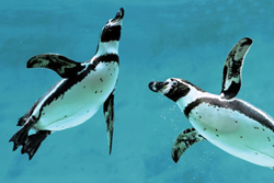 penguins swimming; penguins at The Maritime Aquarium of Norwalk, CT