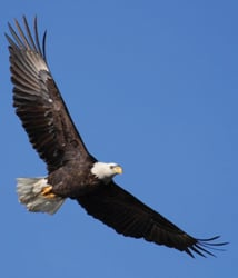 eagle flying; soaring eagle