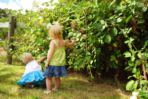 little girls picking raspberries; where to pick your own berries in ny, nj, and ct