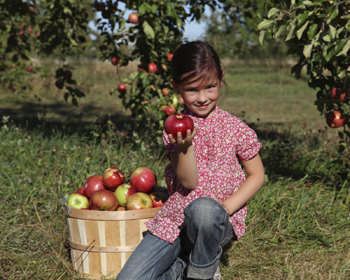 young girl picking apples in an orchard; girl picking red apples in the fall