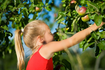 young girl picking apples in an apple orchard; girl picking red apples from a tree; pick your own apple farms in new york