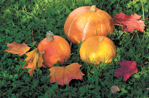 pumpkin patch; orange pumpkins in fall