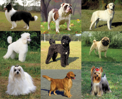 Meet the Breeds; American Kennel Club; purebred dogs