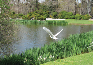 Old Westbury Gardens; fall birds; heron flying