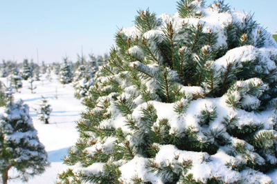 evergreen, pine tree covered in snow
