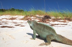 iguana on beach; turks and caicos caribbean islands