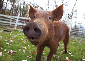 Green Chimneys pig; adopt a pig; pot bellied pig on farm