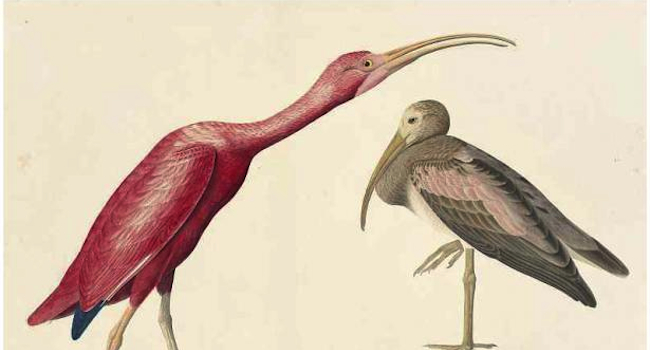 <i>Audubon's Aviary: The Final Flight</i> Soars at New-York Historical Society