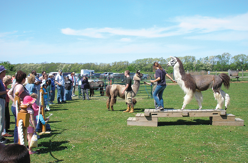 llama obstacle course hallockville farm