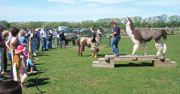 llama obstacle course