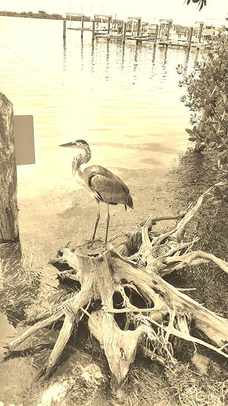Great Blue Heron Florida Captiva
