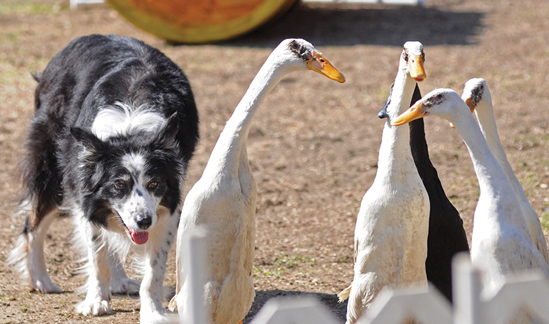 dog herding ducks