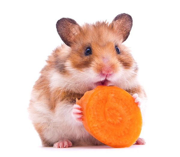 gerbil eating carrot