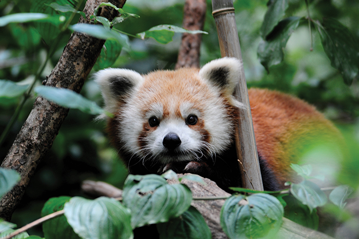 red panda at central park zoo