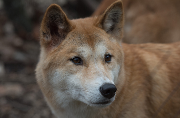 australian dingo at prospect park zoo