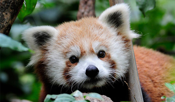 red panda central park zoo