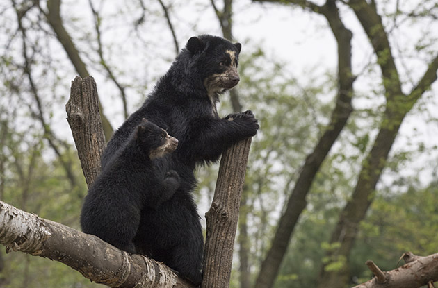 andean bear cub with mom at queens zoo